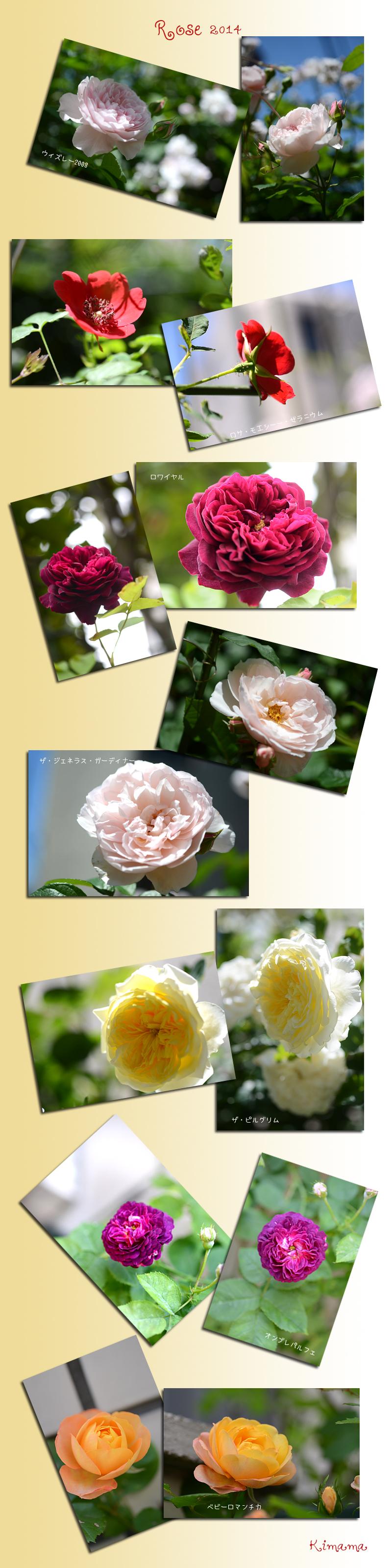 5月22日庭の薔薇1