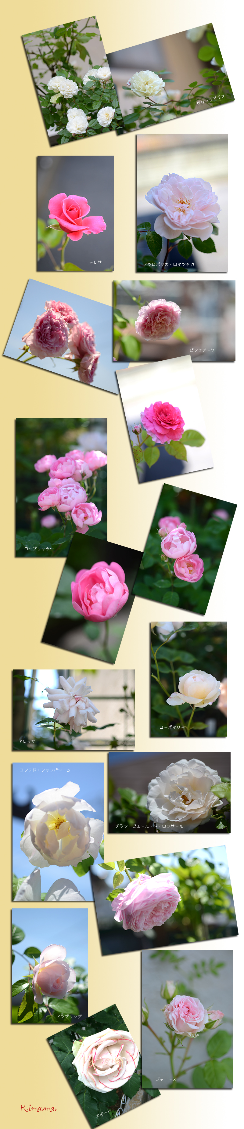 5月22日庭の薔薇2