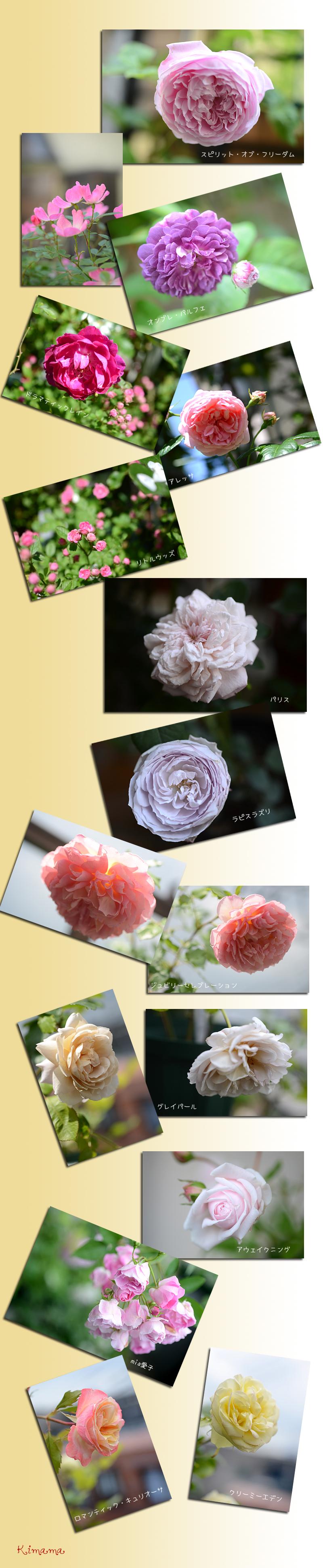 5月22日庭の薔薇3