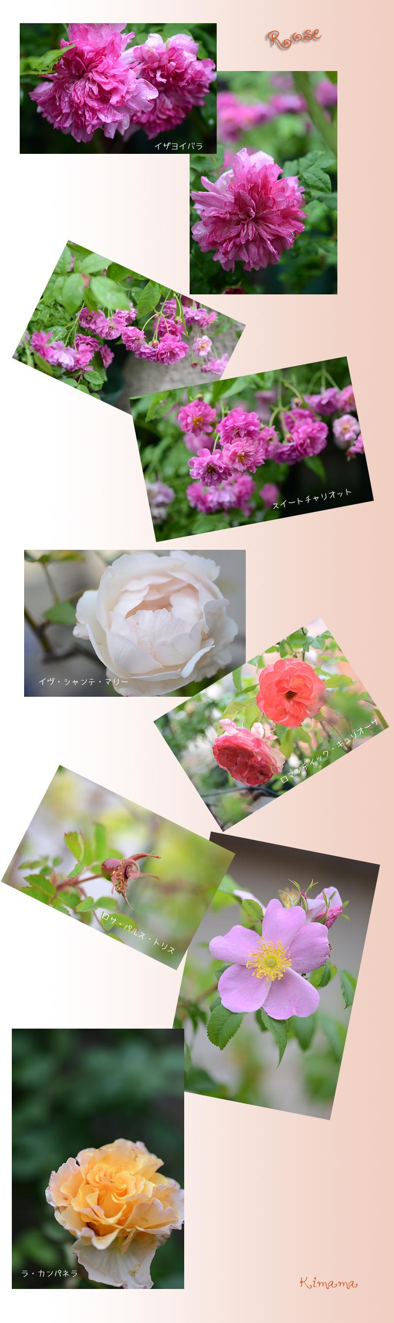 6月13日薔薇