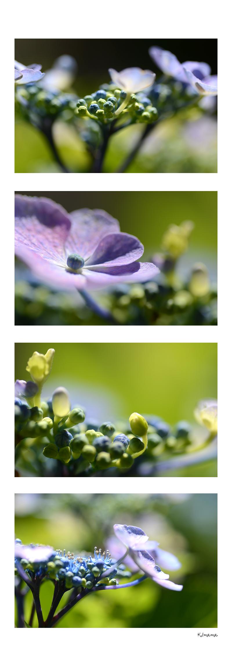 6月14日紫陽花