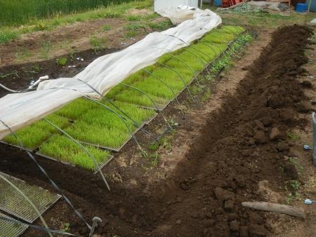 稲の苗床 (5)