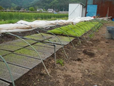 稲の苗床 (4)