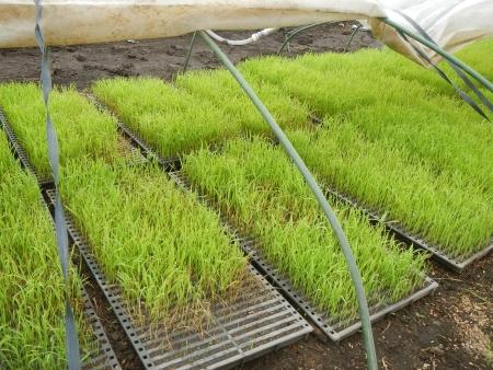 稲の苗床 (3)