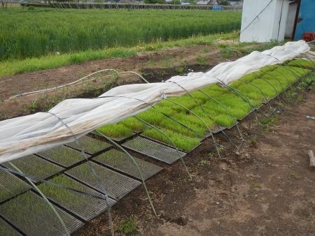 稲の苗床 (2)