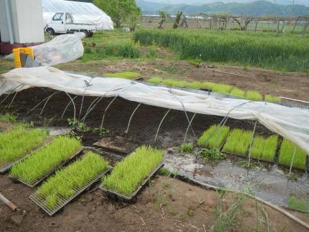 稲の苗床 (10)