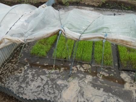 稲の苗床 (9)