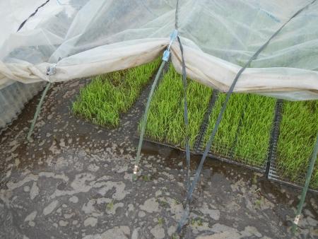 稲の苗 (2)