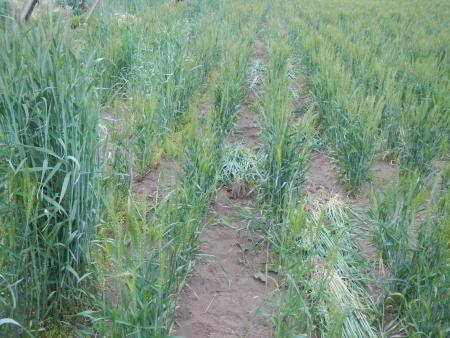 ライ麦の除去作業 (2)