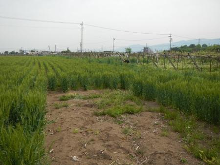 ライ麦の除去作業 (1)