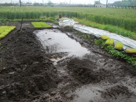 稲の苗床 (6)