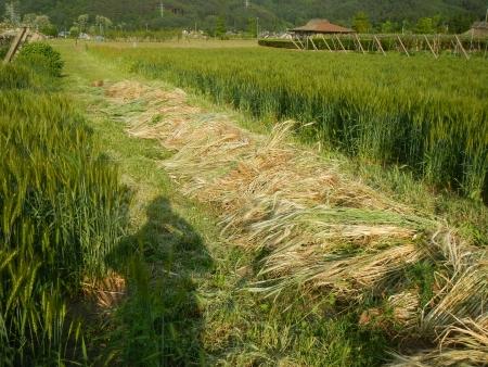 麦畑の除草 (2)