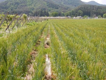麦畑の除草 (1)