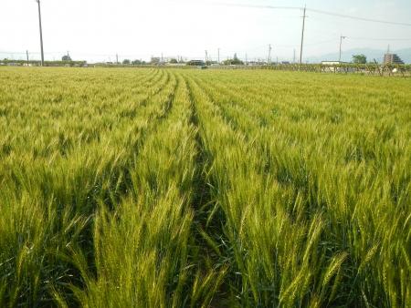 麦畑の除草 (3)