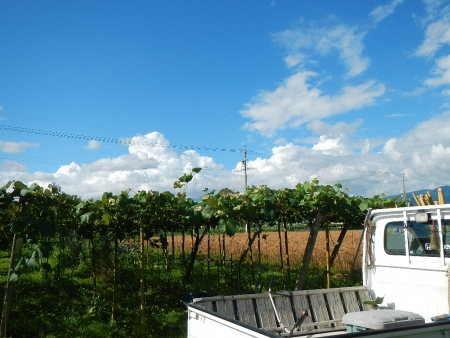 麦の刈り取り (1)