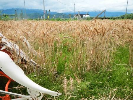 麦刈り (3)