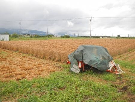 麦畑 (3)