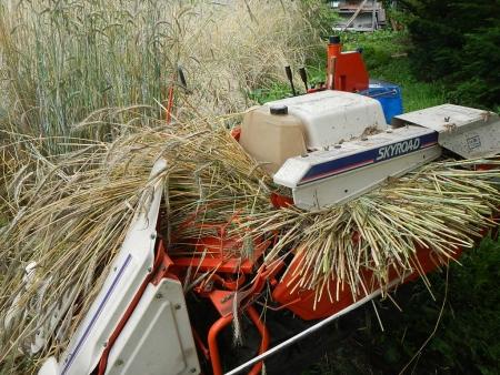 かえで農場麦刈り取り (4)