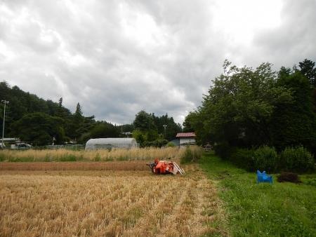 かえで農場麦刈り取り (3)