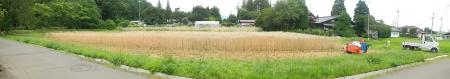 かえで農場麦刈り取り (2)