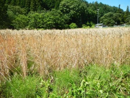 かえで農場麦刈り取り (1)