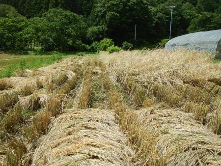 ライ麦収穫 (6)