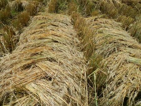 ライ麦収穫 (5)
