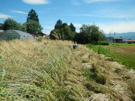 ライ麦収穫 (4)