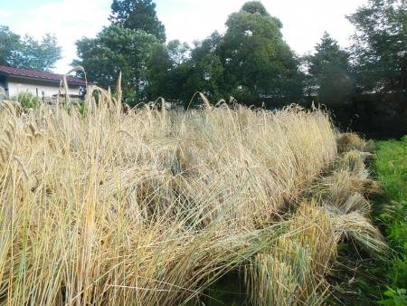 ライ麦収穫 (3)