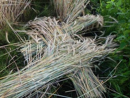 ライ麦収穫 (2)