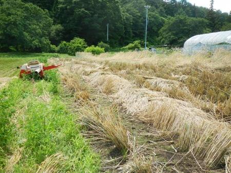 ライ麦収穫 (8)