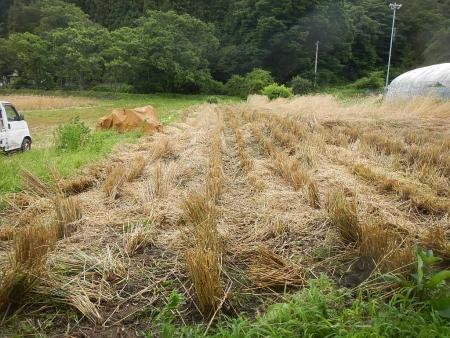 ライ麦刈り取り (3)