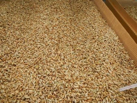 ライ麦乾燥 (2)