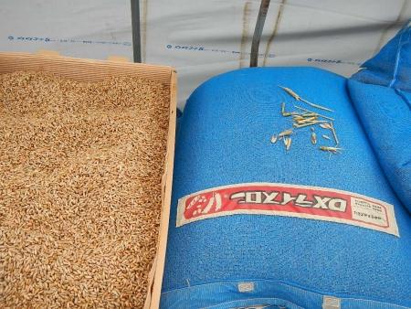 ライ麦乾燥 (1)