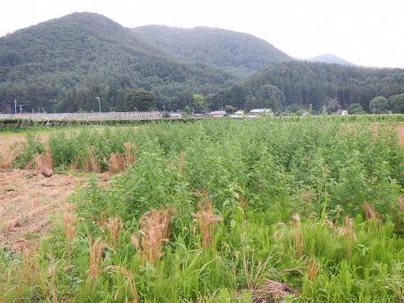 麦刈り (9)