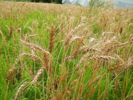 麦刈り (6)