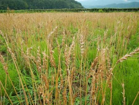 麦刈り (5)