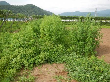桔梗農場 (3)