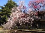 新宿御苑の源平桃