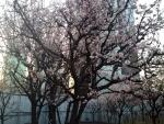 2014年3月の劉一華の梅