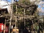 靖国神社標準木