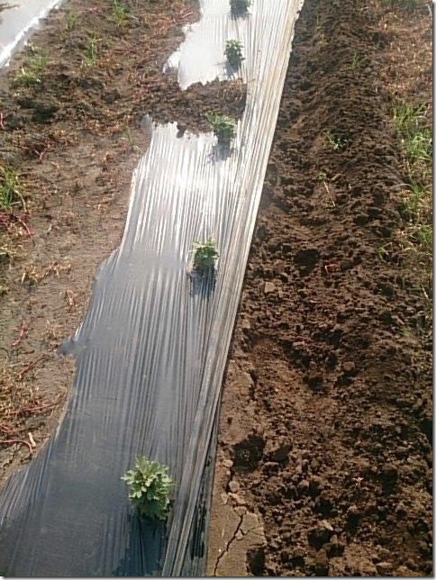 小菊の里除草作業