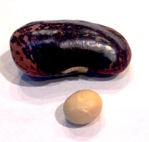 花豆 大豆
