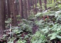 9:41 深い杉の樹林帯の中 目印テープを探して登る