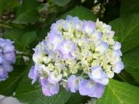 5月末アジサイ開花