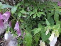 ホタルブクロ 5月~7月頃まで次々に咲きました。