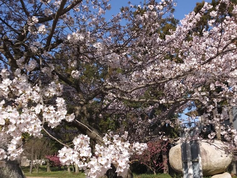 神社の桜と巨大岩 自宅からの眺め