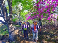「ヤシオツツジ」 咲く登山道