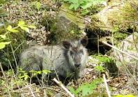 カモシカ 初めて見ました。 フサフサトやさしい顔 ヤギにも似て、のんびりと・・・