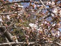 サクラ  28日朝 開花